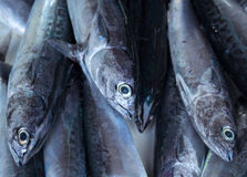 Fresh silver tropical fish closeup on fish market table. Oceanic fish for lunch cook. Stock Photo