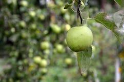 Fresh single green apple. Background of Fresh single green apple growing on the tree in the garden Royalty Free Stock Photography