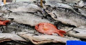 King salmon Royalty Free Stock Photo