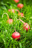 Fresh small radish Stock Image