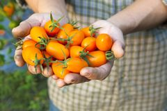 Fresh small tomato. Hand holding fresh small tomato Stock Photo