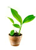 Fresh small tree in the pot on white background Stock Image