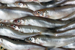 Fresh smelt. Stock Image