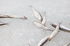 Fresh smelt fish on the snow Royalty Free Stock Image