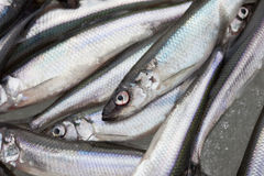 Fresh smelt fish on the snow Stock Images
