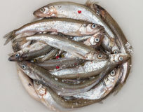 Fresh smelt for frying with spices. Small fish Stock Image