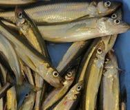 Fresh Smelt Uncooked Ice Fishing Royalty Free Stock Images