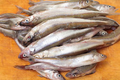 Fresh smelts fish Royalty Free Stock Photos