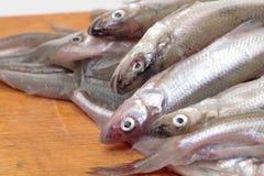 Fresh smelts fish Stock Images
