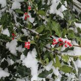 Fresh Snow Accents Dark Green Holly with Bright Red Berries Royalty Free Stock Photos