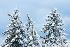 Fresh snow on the branches Stock Photography