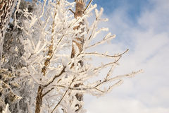 Fresh snow branches Royalty Free Stock Photography