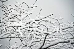 Fresh snow on branches Stock Photography