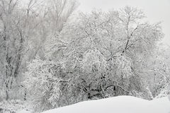 Fresh Snow Covered Tree Stock Image