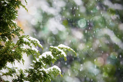 Fresh snow falling on cedar pine tree. Branches, Christmas or holiday theme stock photo