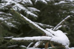 First snow on pine branch royalty free stock photo