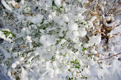 Fresh snow on grass and bushes Stock Photography