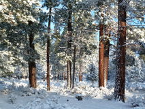 Fresh snow in an Oregon Ponderosa Pine forest. Several inches of snowfall on Ponderosa Pines and understory sagebrush. The sun illuminates the pine bark to a Stock Photo