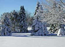 Fresh Snow. A photograph of pine trees covered in newly fallen snow Royalty Free Stock Images