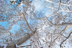 Fresh snow on platanus tree branches, profiled on sky Royalty Free Stock Photos