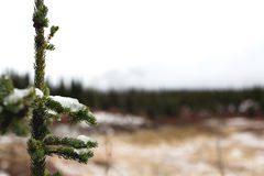 Fresh Snow on Small Pine Tree. Icy snow rests on a small pine trees needles as the background meadow and forest is blurred Stock Images