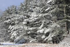 Fresh snow on the tree branches Royalty Free Stock Photography
