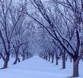 Fresh Snow in tree grove royalty free stock image
