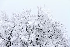 Fresh snow on the tree tops royalty free stock image