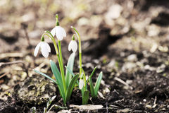 Snowdrop flowers Royalty Free Stock Image