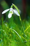 Fresh snowdrop Stock Image