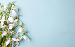 Fresh snowdrops on blue background with copyspace Royalty Free Stock Images