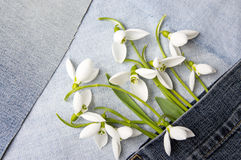 Fresh snowdrops in blue jeans pocket Stock Image