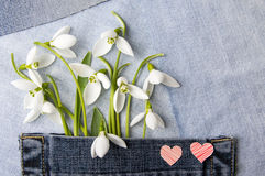 Fresh snowdrops in blue jeans pocket Royalty Free Stock Photography