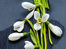Fresh snowdrops on dark background Royalty Free Stock Photos