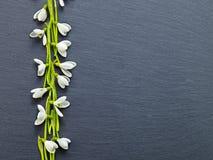 fresh snowdrops on dark background Stock Image