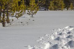 Fresh snowshoe tracks lead out of view. Deep foot prints and tracks of snow-shoeing in fresh, soft, Okanagan powder-dry snow Royalty Free Stock Photography