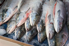 Fresh Sockeye Salmon Royalty Free Stock Photography