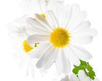 Fresh soft white chrysanthemums like  chamomiles is isolated Stock Photo