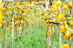 Solanum mammosum crops Stock Photo