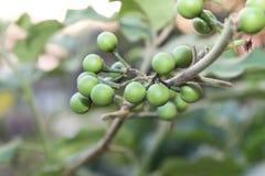 Fresh Solanum Torvum fruits or  turkey berry on tree. Royalty Free Stock Images