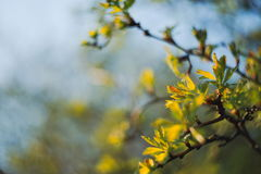 Fresh Sorbus Leaves. Blurred Fresh Green Sorbus Leaves in Spring Royalty Free Stock Images