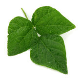 Fresh soy leaves  on white Royalty Free Stock Photography
