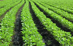Fresh soybean field Royalty Free Stock Photography