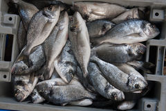 Fresh Sparus aurata fish in a box Stock Photography