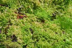 Fresh sphagnum moss. In forest at Inthanon national park, Chiang Mai, North Thailand Royalty Free Stock Image