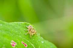 Fresh spider on green leaf Stock Image