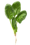 Fresh spinach Stock Photos