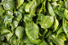 Fresh spinach close up Stock Images