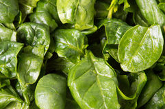 Fresh spinach close up Royalty Free Stock Photo