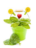 Fresh spinach in green bucket. Love healthy vegetables - fresh leaves of spinach in green garden bucket with red heart. Isolated on white background stock photography